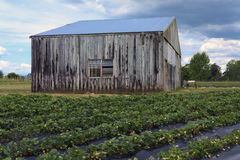 Old barn on strawberry field Royalty Free Stock Photos