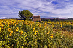 Old Barn in SunFlower and Lavender Fields on the Plateau De Valensole Royalty Free Stock Photos