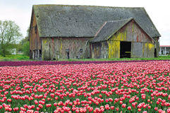 Old Barn at the tulip field Stock Photography