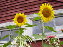 Old Barn Window. Old barn with sunflowers in the foreground Stock Photos
