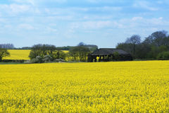 Old Barn in Yellow Rape Field. In Wiltshire, England Royalty Free Stock Images
