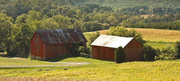 Old Barns. Old red barns in the midst of crops of corn in the country royalty free stock photo