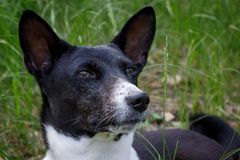 An old basenji dog with a gray muzzle looks at a blade of grass. Big portrait stock photography
