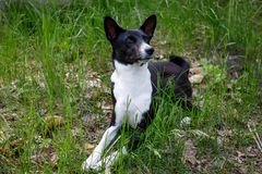 Old dog basenji with a gray muzzle lying on the grass. An old basenji dog with a gray muzzle looks at a blade of grass royalty free stock image