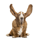 Old Basset Hound sitting with ears up Royalty Free Stock Photo