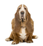 Old Basset Hound sitting and looking at the camera Royalty Free Stock Images
