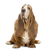 Old Basset Hound sitting and looking up Royalty Free Stock Images