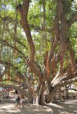 Old Bayan Tree. Lahaina, Hawaii, USA- May 19, 2011.  This is an image of the famous Banyan tree in central Lahaina.  It was planted over 100 yeras ago and locals Stock Photos