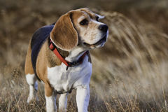 An old beagle dog. An old beagle dog with a red collar, standing facing the camera and looking to the side royalty free stock photos