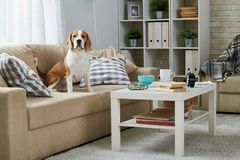 Free Old Beagle Sitting On Sofa Stock Photos - 115081663