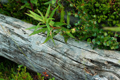 Old beam and green fireweed. At spring royalty free stock photo