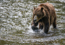 Old bear close-up. Close-up of an old grizzly bear as he wades through a creek in the Tongass national forest, Alaska Royalty Free Stock Photos