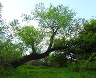 Old tree near river, Lithuania royalty free stock image