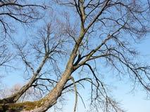 Old beautiful tree Royalty Free Stock Image