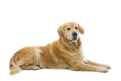 Old beautiul golden retriever dog Royalty Free Stock Photos