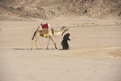 Old bedouin woman with camel in the desert. Old traditional egyptian bedouin woman walking with a dromedary camel in the eastern desert Royalty Free Stock Image