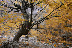 Old beech. Tree in National Park Collados del Ason (Cantabria,Spain Stock Photo