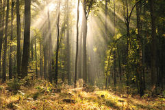 Old beech forest Royalty Free Stock Image