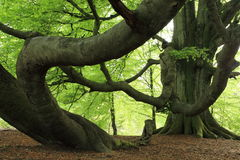 Old Beech in the Forest Stock Image