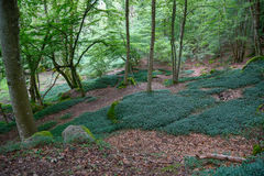 Old beech forest glade Royalty Free Stock Images