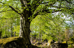 Old beech Royalty Free Stock Photos