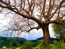 Old beech tree in Aramaio Alava Basque Country. Old beech tree in the foreground in Aramaio Alava Basque Country Stock Photo