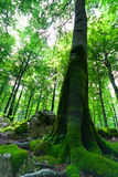 Old beech tree in a green forest Stock Image