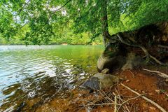 Old beech tree on the shore of Morske Oko lake. In sunburst. beautiful Vihorlat landscape of Slovakia in summer. primeval beech forest area royalty free stock photography