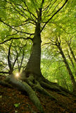 Old Beech Tree. With the sun through the branches Royalty Free Stock Image