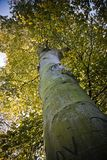 Old beech tree on sunny day in autumn Royalty Free Stock Image