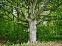 Old Beech Tree Trunk in Spring royalty free stock images