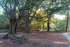 Old beech trees Stock Photos