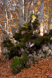 Old beech trunk in autumn Royalty Free Stock Photo