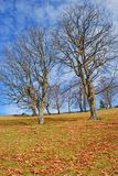 Old beeches on a mountain autumn slope. Stock Photography