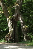 Old Begging Oak in the Nationalpark Hainich in Germany Royalty Free Stock Photo