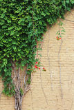 Old beige painted brick wall with trumpet vines growing up one side. Vertical aspect Royalty Free Stock Photography