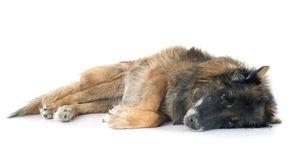 Old belgian shepherd Stock Photo