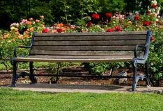 Old bench in the middle of rose garden. In Sacramento Stock Images