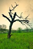 Old bended apple tree Royalty Free Stock Images