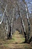 Old bent birch trees over well-worn walking path. Royalty Free Stock Photography