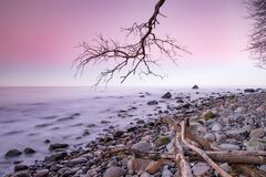 Free Old Bent Tree On The Beach On The Sunset Baltic Sea Coast Royalty Free Stock Image - 195132156