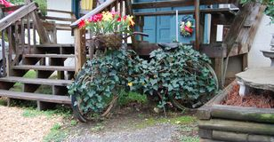 Old bicycle covered with an ivy vine Royalty Free Stock Photography
