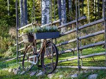Old bicycle with flower decorations. Vintage bike with flowers against wooden fence Royalty Free Stock Photos