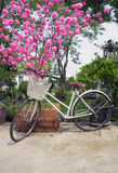 Old bicycle near blossoming tree cherry in springtime Royalty Free Stock Photos