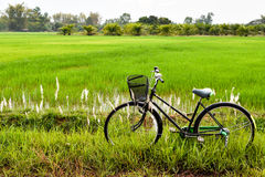 Old Bicycle in Paddy Field Royalty Free Stock Photo