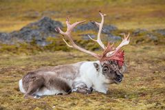 Old, Big Arctic Reindeer Preparing To Shed His Antlers. Stock Photography