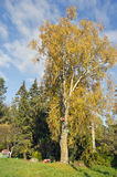 Old big autumn time birch in farm Royalty Free Stock Image