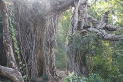 Old big banyan tree in deep green forest with big roots stock image