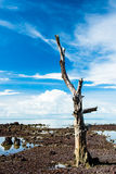 Old big dry tree with blue sky in background Royalty Free Stock Images