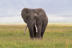 Old big elephant. NgoroNgoro Crater. Royalty Free Stock Photos